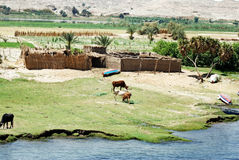 Nile. Cows grazing at the banks of Nile river, Egypt royalty free stock images