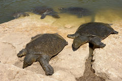 nile besköt den slappa trionyxtriunguissköldpaddan Arkivbild