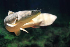 Nile bichir. The freshwater fish nile bichir royalty free stock photography
