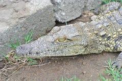 Nile Croc Royalty Free Stock Photos