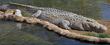 Nile Crocodile 10 Stock Photos
