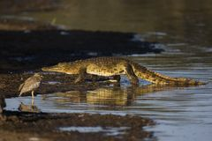Nile crocodile. Crocdylus niloticus; South Africa Royalty Free Stock Images