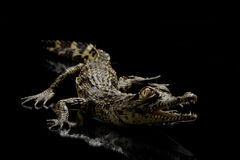 Nile crocodile Stock Photos
