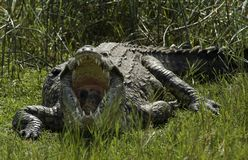 Nile Crocodile photo stock