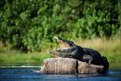 Nile crocodile. Royalty Free Stock Photo