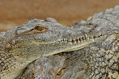 Nile crocodile Stock Image
