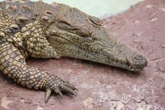 Nile Crocodile  Stock Images