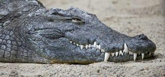 Nile crocodile 2. Nile crocodile. Latin name - Crocodylus niloticus Royalty Free Stock Images