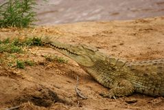 Nile crocodile Stock Photography