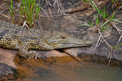 Nile Crocodile 2371 Royalty Free Stock Images