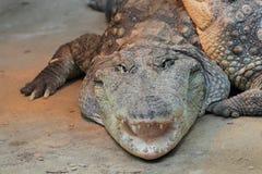 Nile crocodile Royalty Free Stock Images