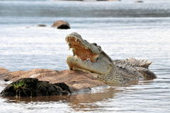 Nile crocodile Stock Photo
