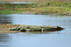 Nile crocodile. In Ruaha NP, Tanzania Royalty Free Stock Photography