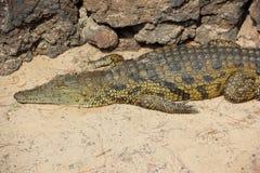 Nile Crocodile. Fotografie Stock Libere da Diritti