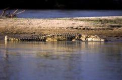 Nile Crocodile royalty-vrije stock afbeeldingen
