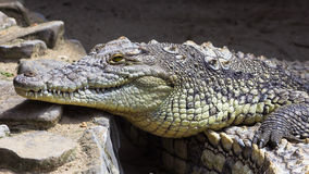 Nile Crocodile Fotografia Stock