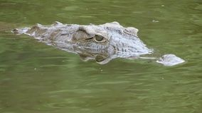 Nile Crocodile Fotografie Stock Libere da Diritti
