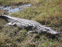 Nile Crocodile Images libres de droits