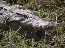 Nile Crocodile Photos libres de droits