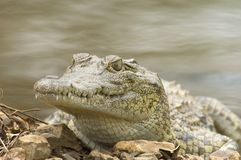 Nile Crocodile. KNP - South Africa Stock Image