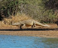 Nile Crocodile lizenzfreies stockbild