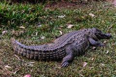 Nile Crocodile stock foto