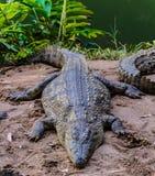 Nile Crocodile royalty-vrije stock fotografie