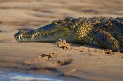 Nile Crocodile Imagem de Stock Royalty Free