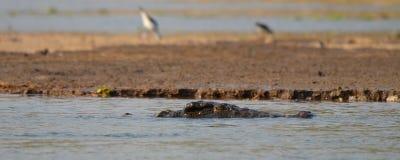 Nile Crocodile Imagens de Stock Royalty Free