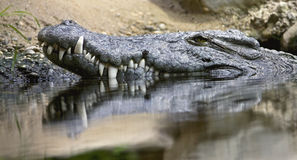 Nile crocodile 6 Stock Photos