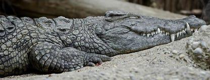 Nile Crocodile Stockbild