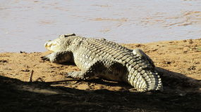 Nile Crocodile immagine stock