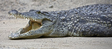 Nile crocodile 7 Royalty Free Stock Images