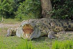 Nile Crocodile Stock Fotografie