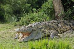 Nile Crocodile image libre de droits