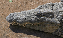 Nile crocodile 9 Royalty Free Stock Image