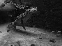 Nile Crocodile Lizenzfreies Stockfoto