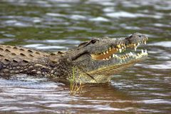 Nile Crocodile. In the Shingwedzi River, Kruger National Park, South Africa Stock Image