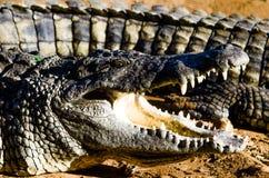 Nile Crocodile photo stock