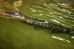 Nile crocodile in ambush Stock Photo