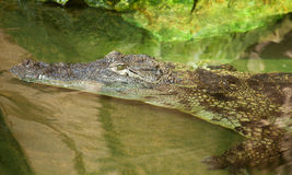 Nile crocodile in ambush Stock Image