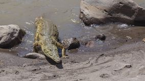 Nile Crocodile Approaching Lakeshore stock fotografie