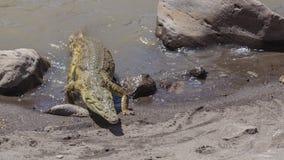 Nile Crocodile Approaching Lakeshore fotografía de archivo
