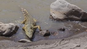 Nile Crocodile Approaching Shore royalty-vrije stock foto's
