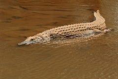 Nile crocodile basking Royalty Free Stock Images