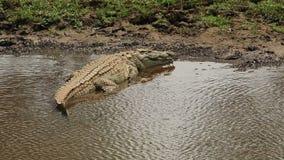 Nile crocodile basking stock footage