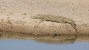 Nile crocodile basking stock video
