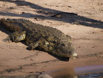 Crocodile. Nile Crocodile basking in the sun Stock Photo