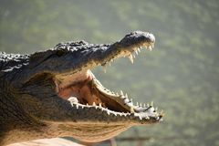 Nile crocodile. Big Nile crocodile mouth open in the sun royalty free stock photo