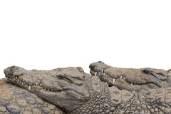 Nile Crocodile Border Stock Photo